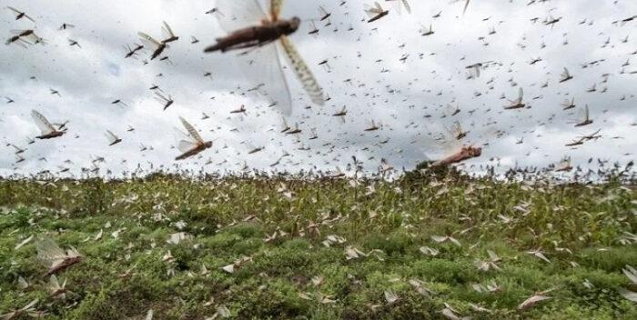Una nube de langostas invade provincias del litoral — Impresionante