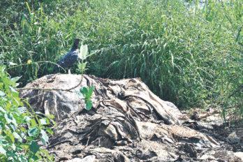 Cuero de ganado abandonado en Villa Universitaria I perjudica a más de 15 familias