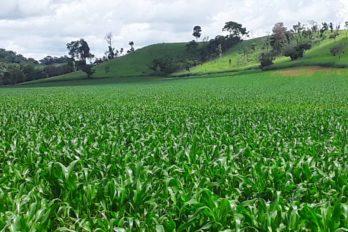Productores Agrícolas Avanzan en el Plan De Siembra de Maíz Amarillo 2020
