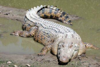 cocodrilos